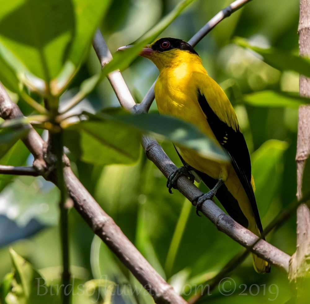 Black-naped Oriole perching on a branch of a tree