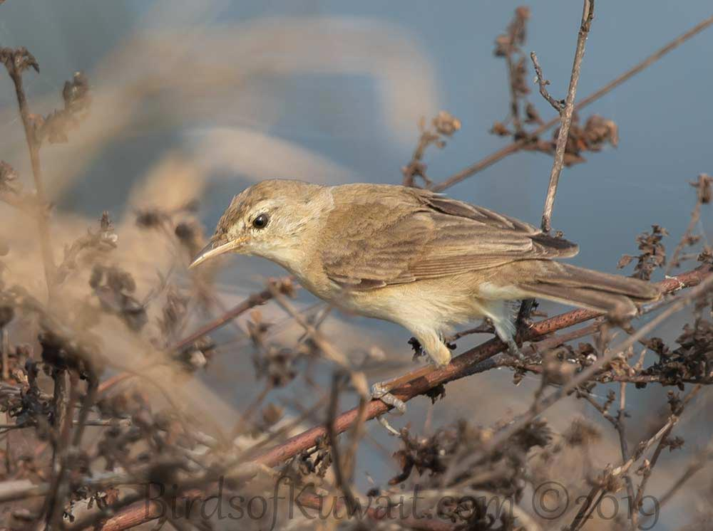 Booted Warbler perched on a branch of a tree