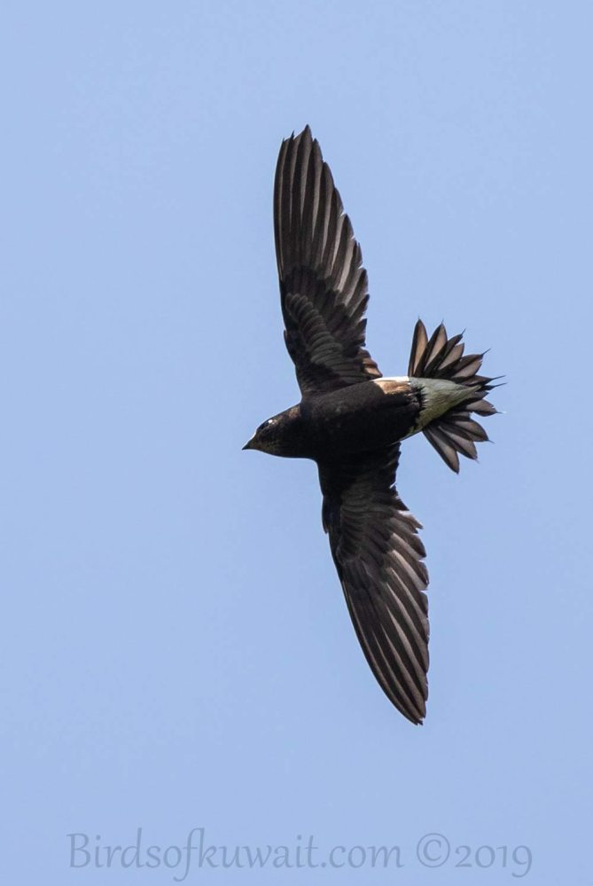 Brown-backed Needletail in flight