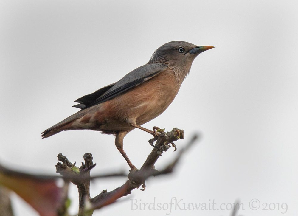 Chestnut-tailed Starling perching on a branch of a tree