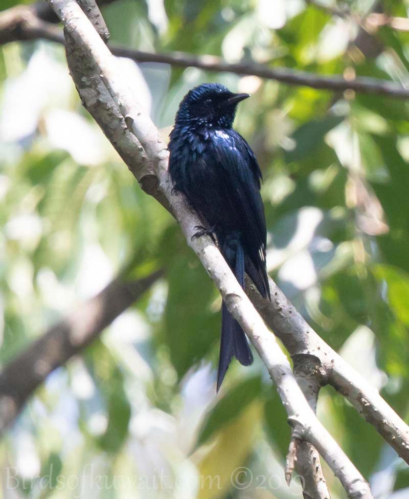 Fork-tailed Drongo-Cuckoo perched on a branch of a tree