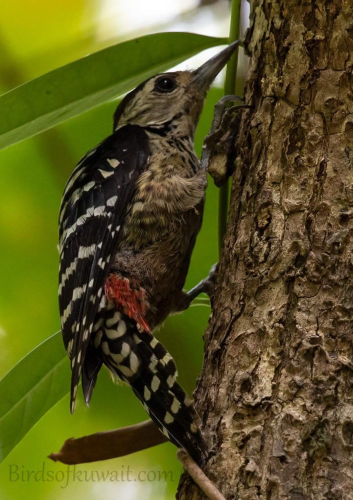 Freckle-breasted Woodpecker perching on a trunk of a tree