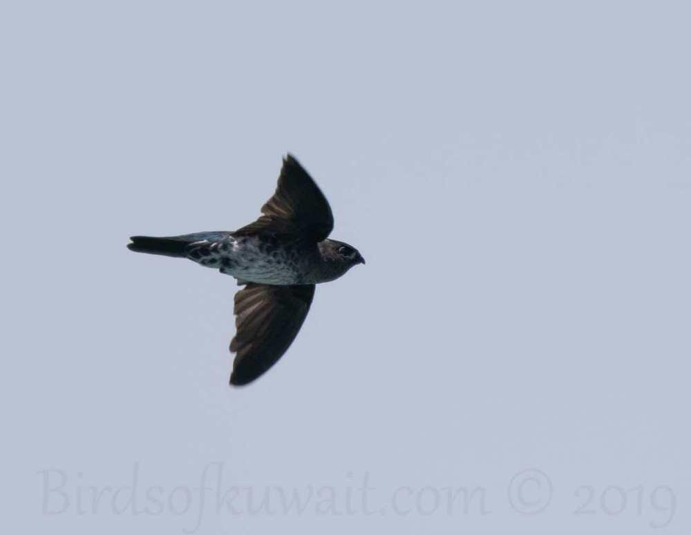 Glossy Swiftlet in flight