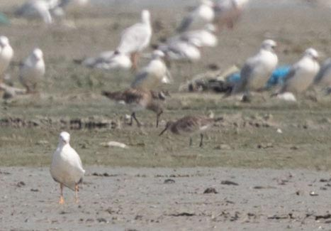 Great Knot feeding on ground
