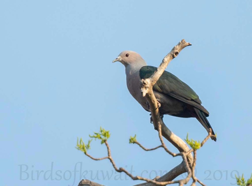 Green Imperial-Pigeon sitting on a branch of a tree