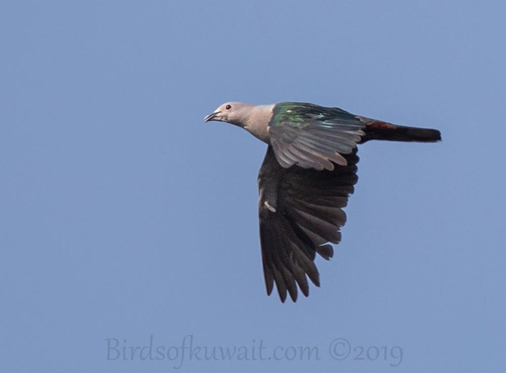 Green Imperial-Pigeon in flight