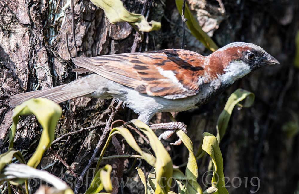 House Sparrow on twigs