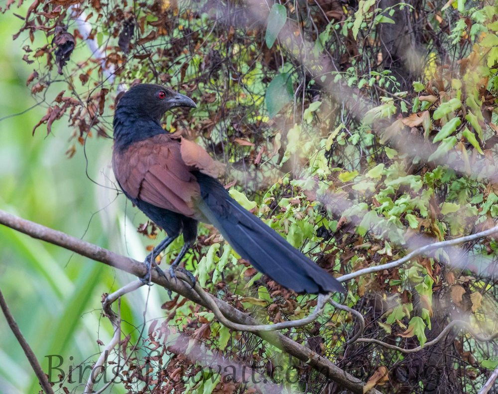 Greater Coucal perching on a branch of a tree