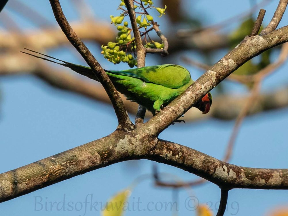 Long-tailed Parakeet perching on a branch of a tree