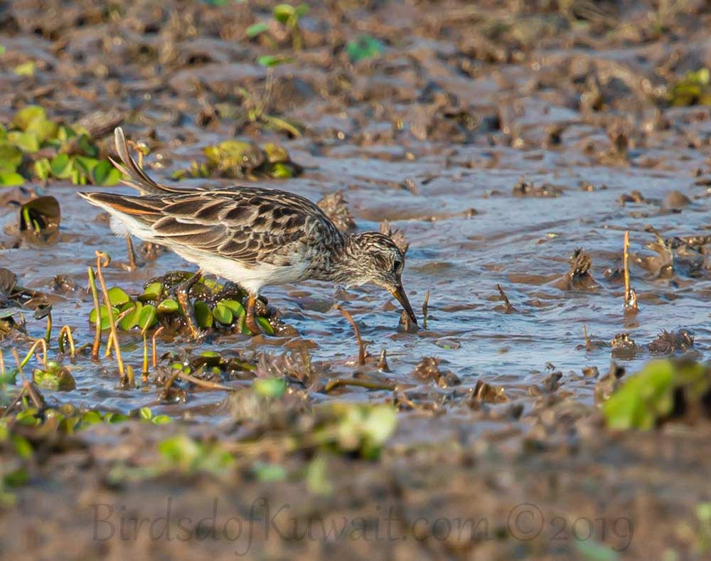Long-toed Stint feeding in water