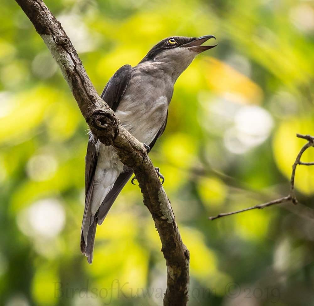 Malabar Woodshrike perching on a branch of a tree