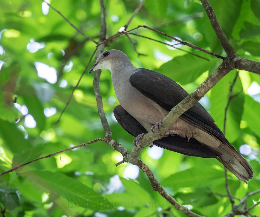 Mountain Imperial-Pigeon perching on a branch of a tree