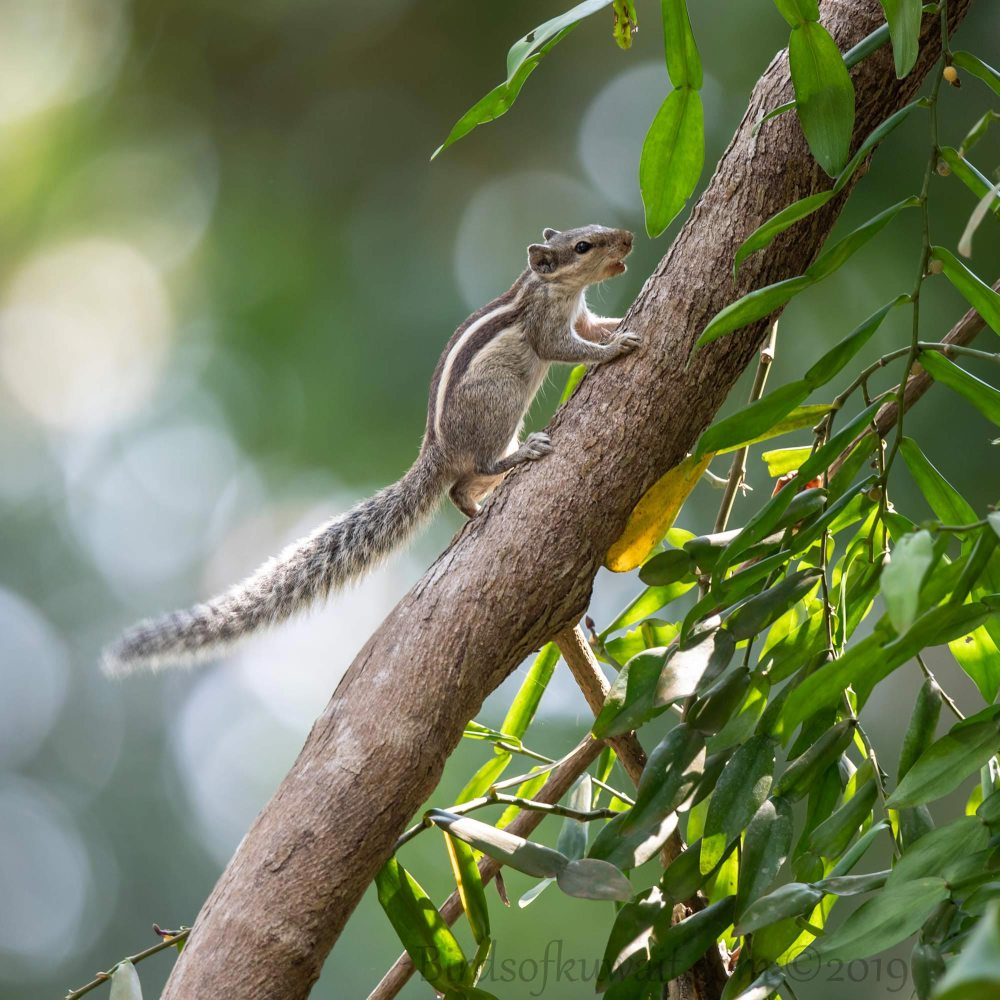 Northern Palm Squirrel perching on a trunk of a tree