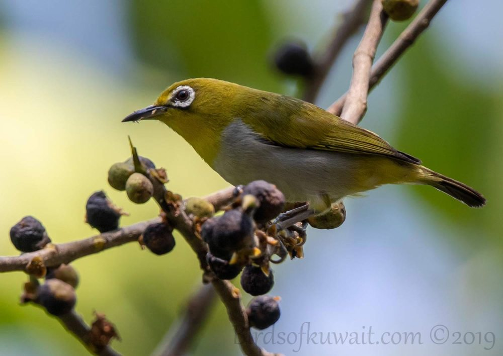 Indian White-eye perching on a branch of a tree