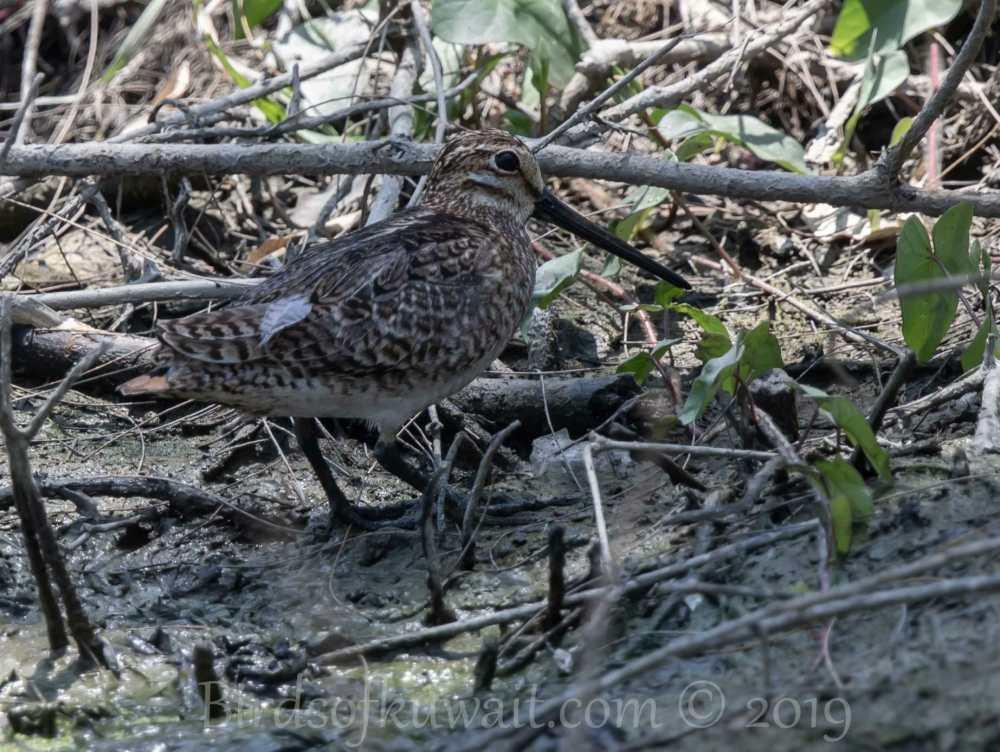 Pin-tailed Snipe feeding on ground