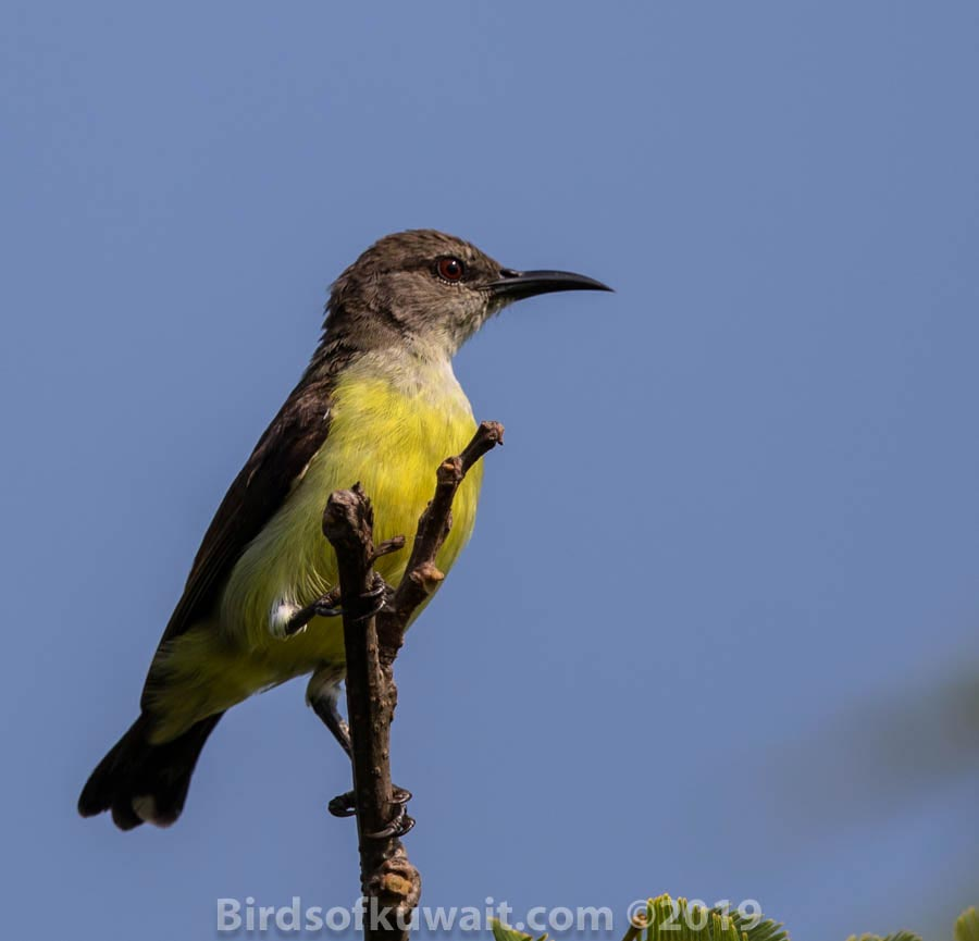 Purple-rumped Sunbird perched on a branch of a tree