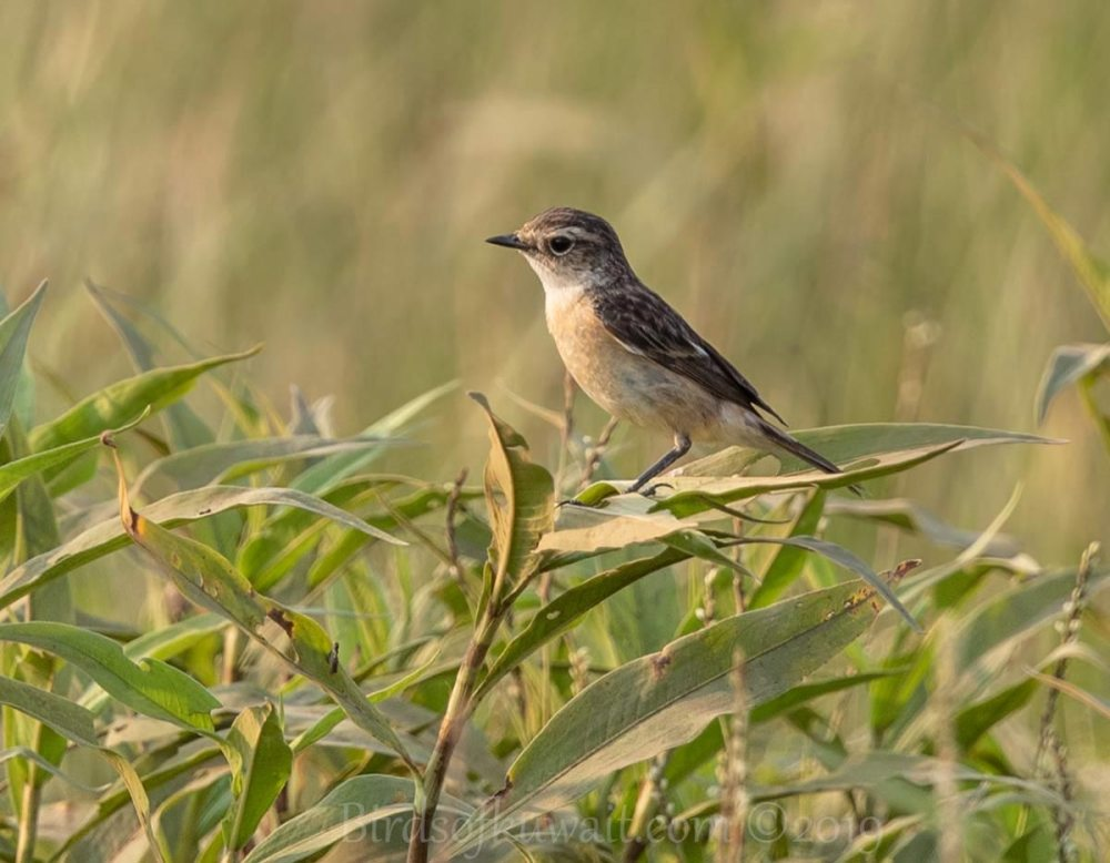 Siberian Stonechat perching on grass
