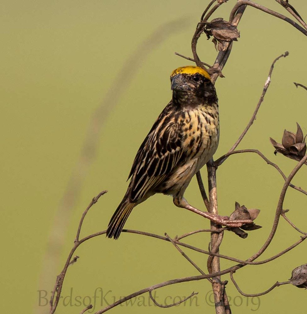 Baya Weaver perched on a branch of a tree