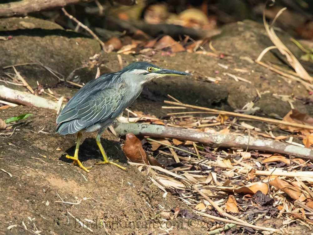 Striated Heron on ground