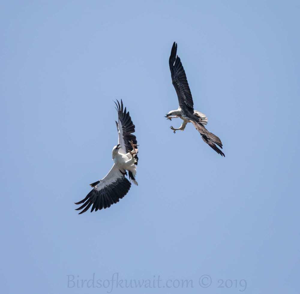 Two White-bellied Sea Eagle fighting in flight