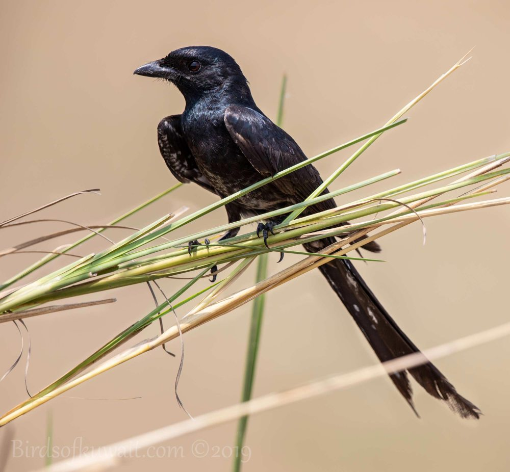 Black Drongo perching on a branch
