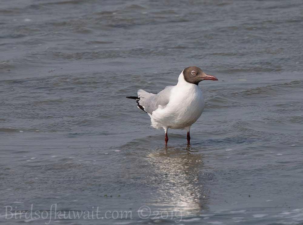 Brown-headed Gull standing in sea water