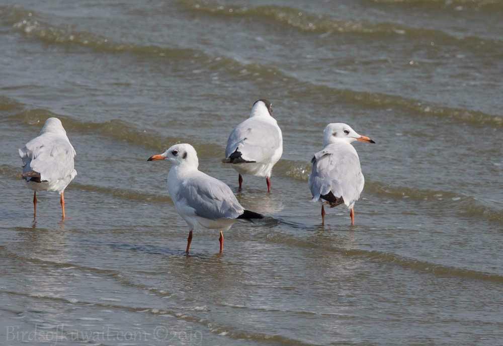 Brown-headed Gull feeding on the ground