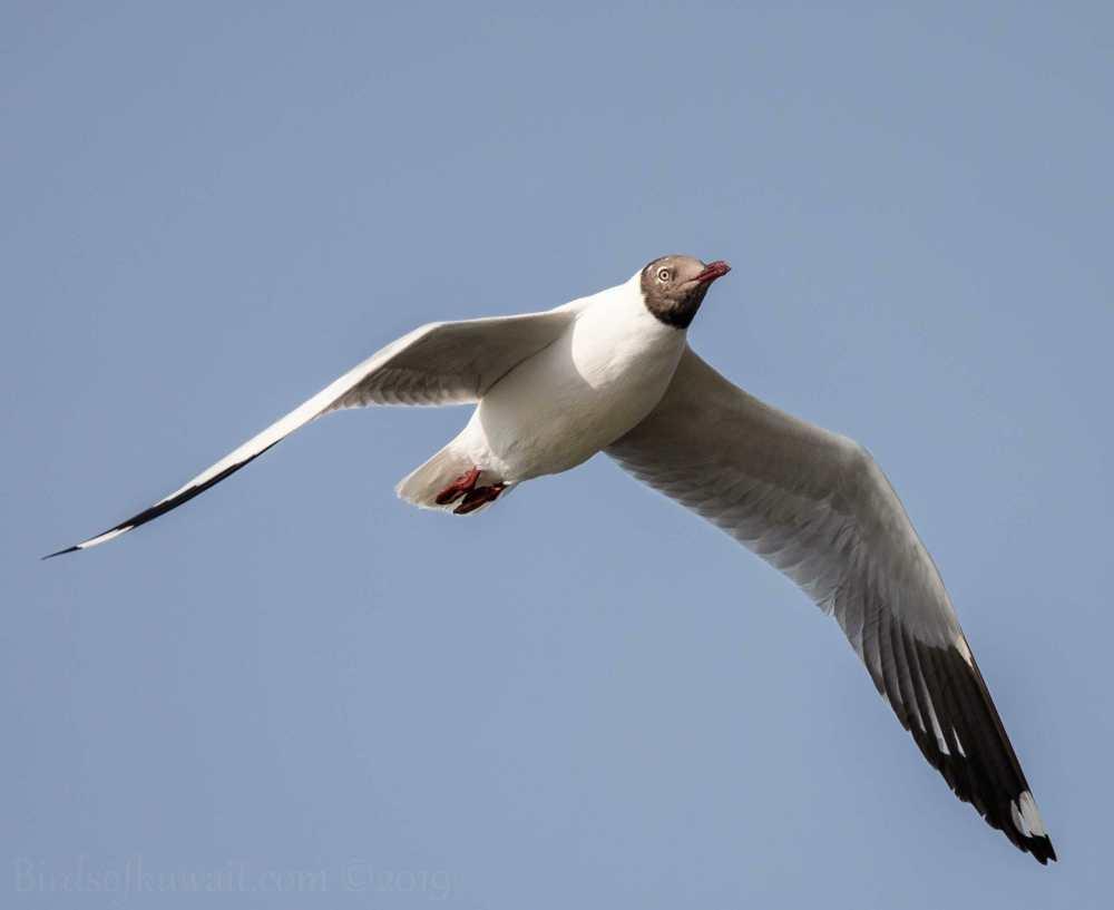 Brown-headed Gull in flight