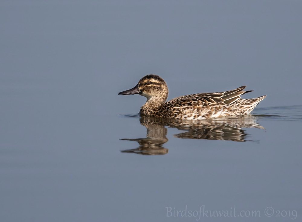 A Garganey swimming in water