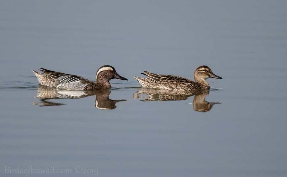 Two Garganeys swimming in water