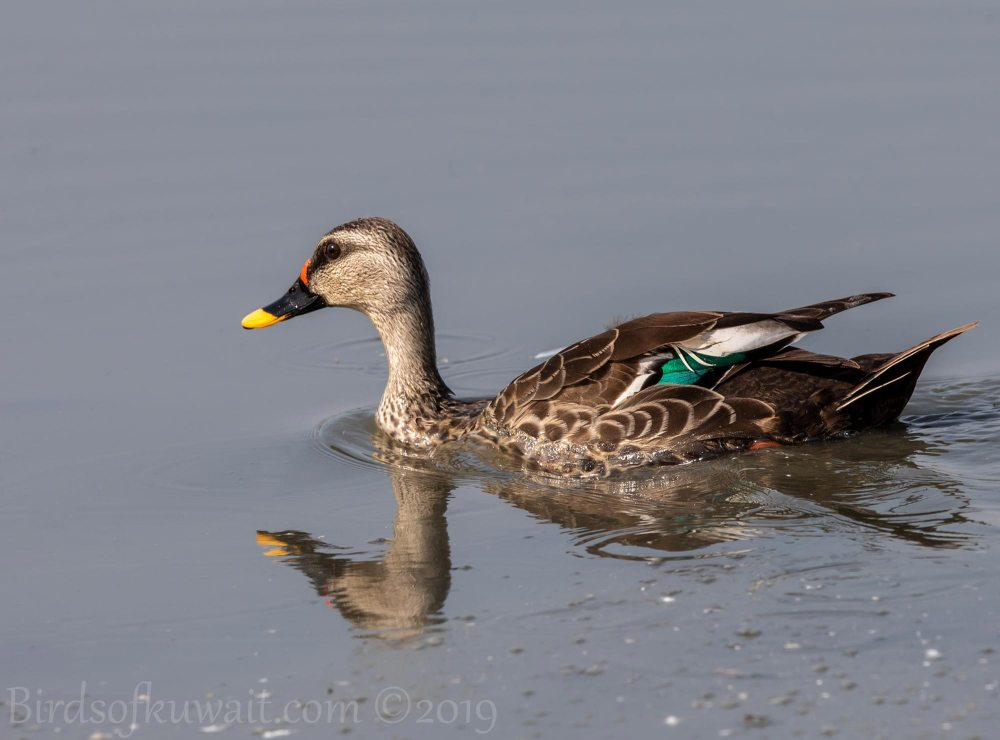 Indian Spot-billed Duck swimming in water