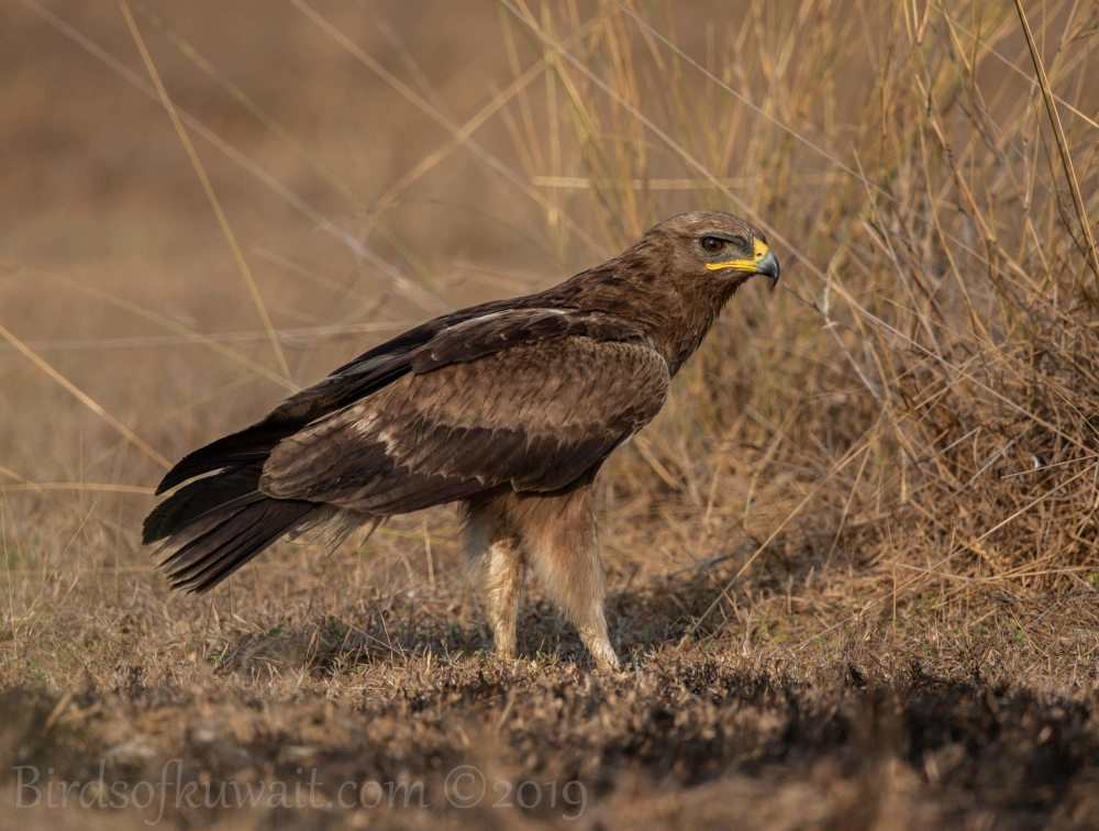 Indian Spotted Eagle perching on the ground