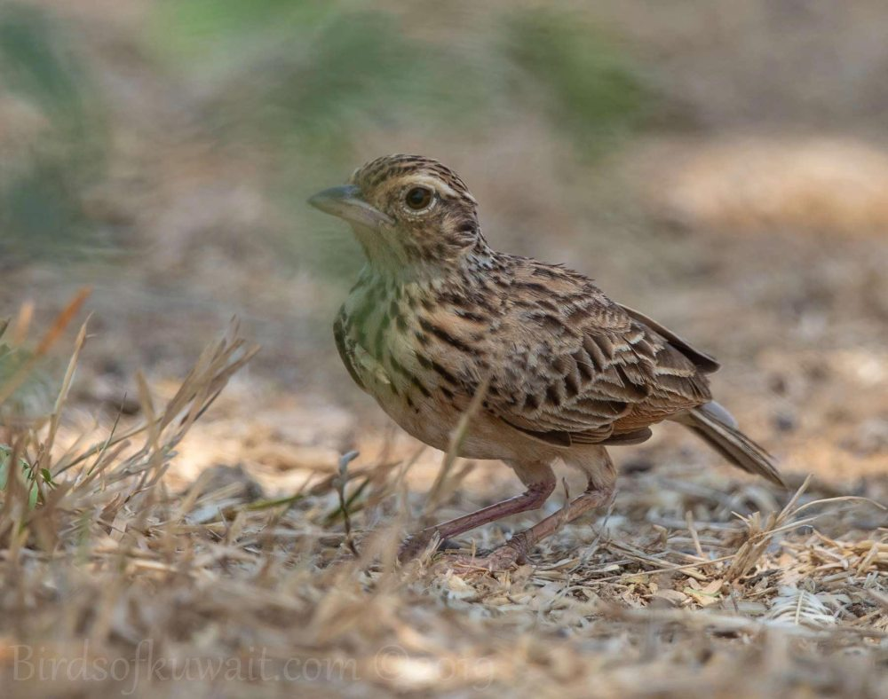 Jerdon's Bushlark perching on the ground