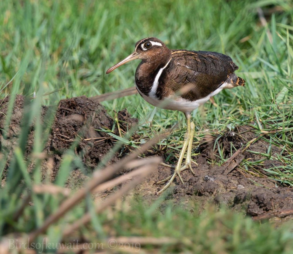 Greater Painted-Snipe feeding on a wet ground