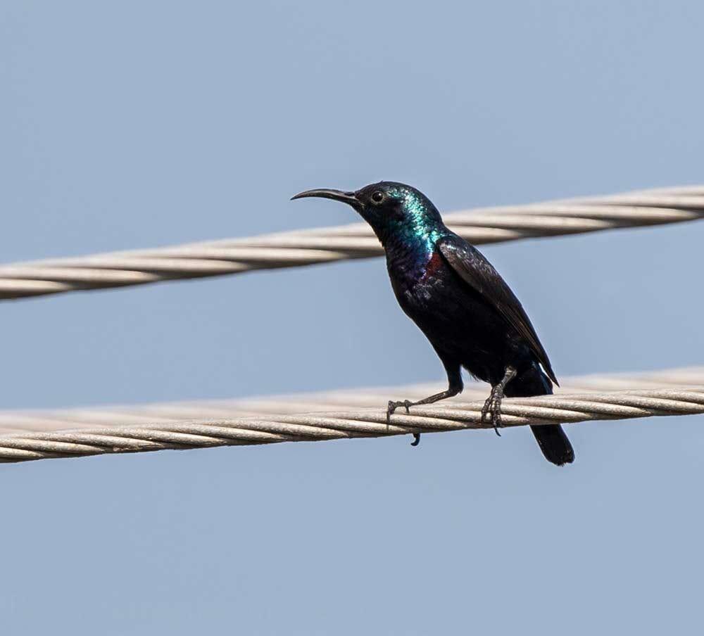 Purple Sunbird perching on pylon