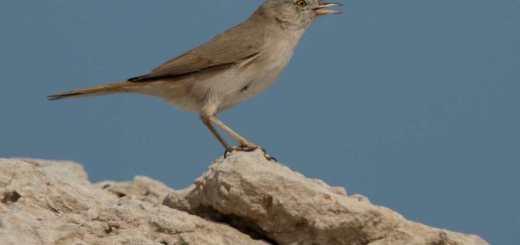 Asian Desert Warbler perching on a rock
