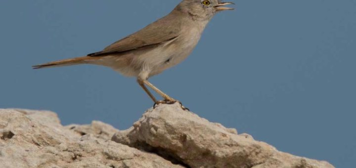 Asian Desert Warbler perching on a rock