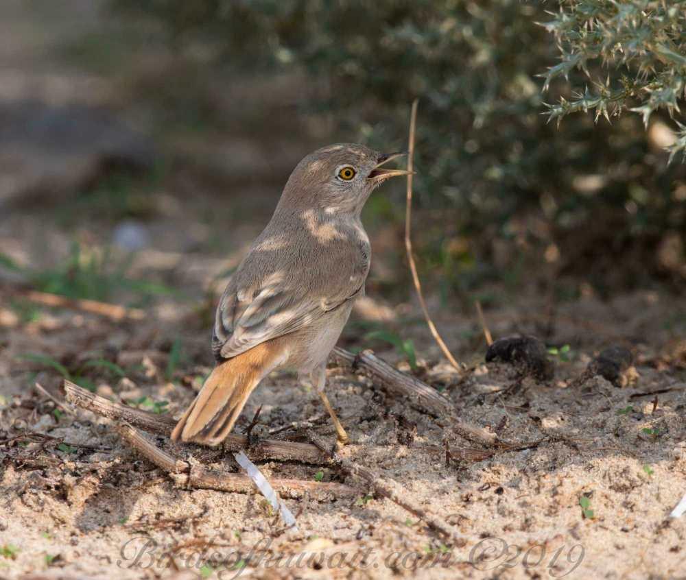 Asian Desert Warbler perching on the ground