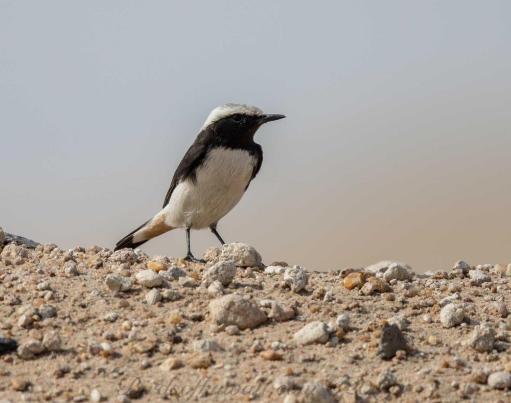 Eastern Mourning Wheatear perching on the ground
