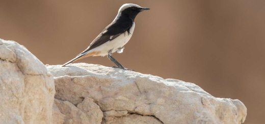Eastern Mourning Wheatear perching on a rock