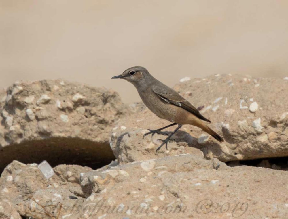 Red-tailed Wheatear perching on a rock