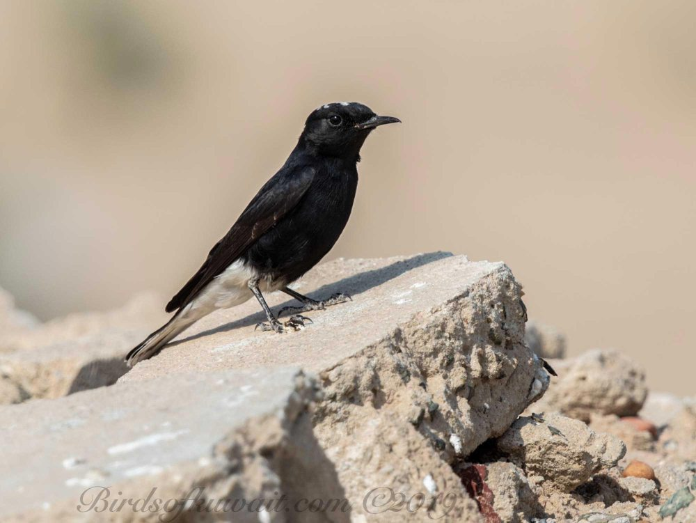White-crowned Wheatear perching on a rock