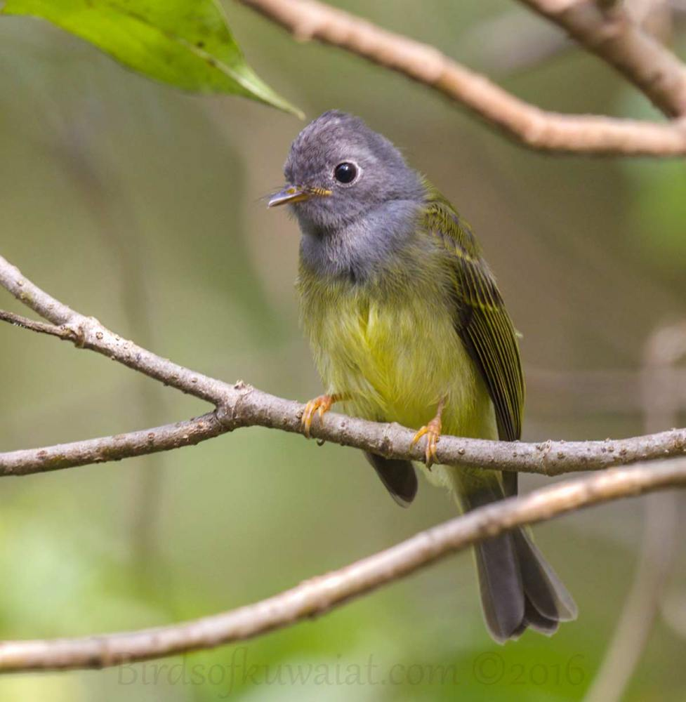 Grey-headed Canary-flycatcher perching on a branch of a tree