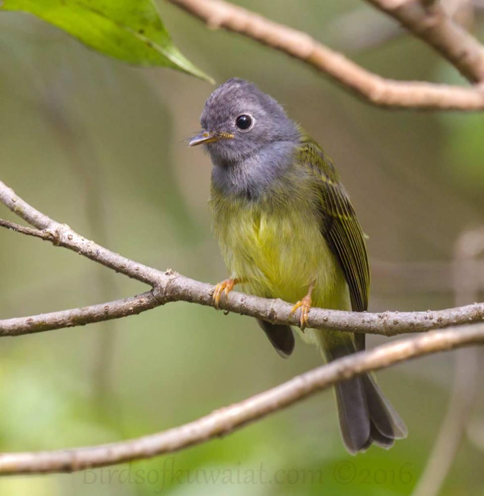 Grey-headed Canary-flycatcher Culicicapa ceylonensis