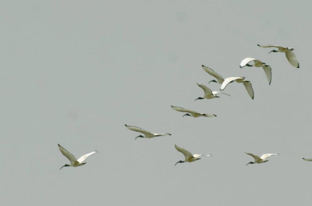 10 African Sacred Ibis in flight
