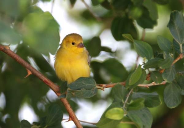 Arabian Golden Sparrow perching on a branch