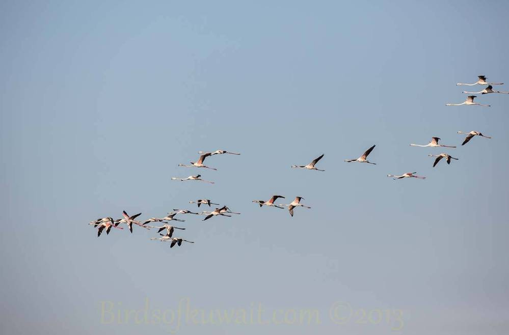 A flock of Greater Flamingo in flight