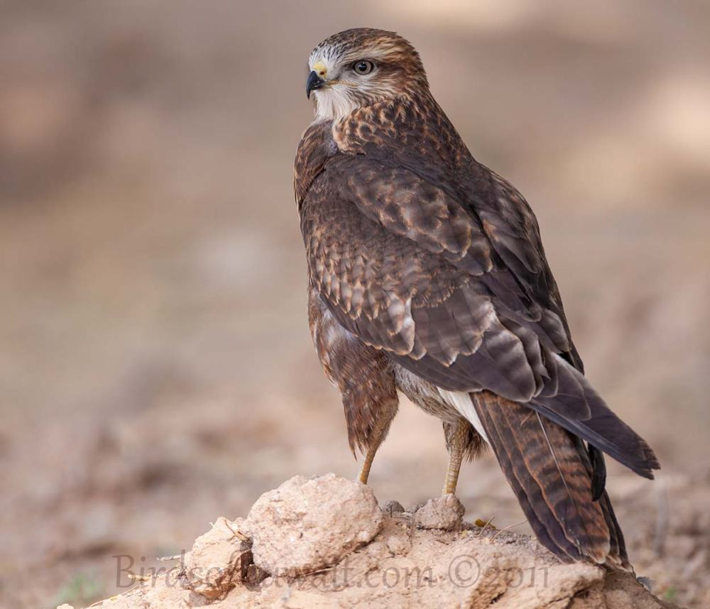 Steppe Buzzard perching on the ground