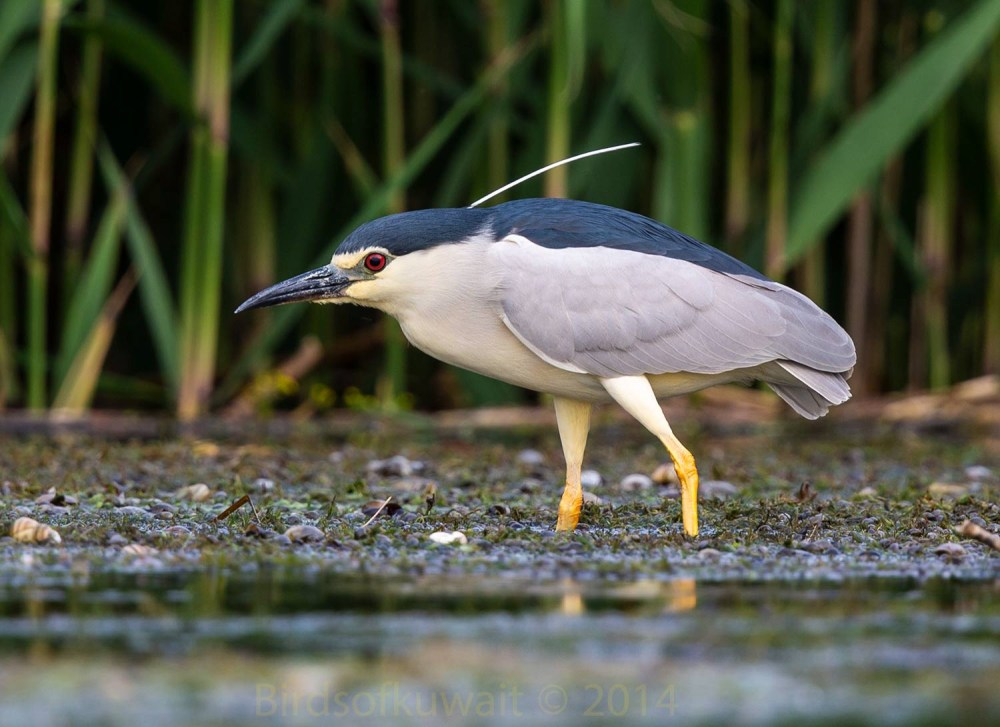Black-crowned Night Heron feeding in shallow water