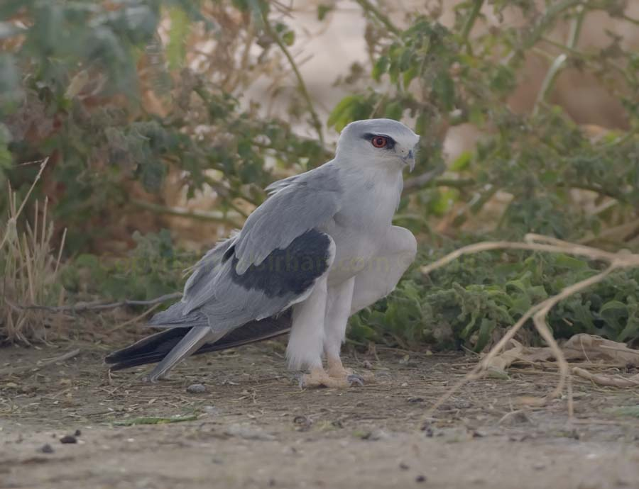 Black-winged Kite standing in the shade of a tree